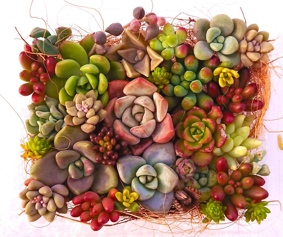 多肉植物 カット苗 寄せ植え  25カット位 レッドベリー等 ぎゅうぎゅう詰め
