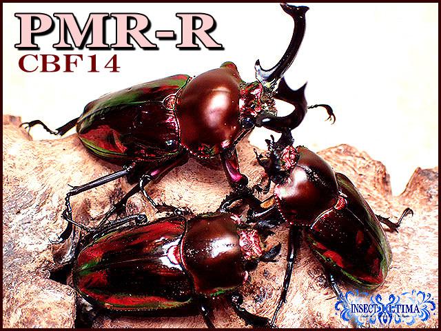 ★サマーセール!今期最高種親PMR-R血統!大型ニジイロ/3令幼虫ペア:ラスト!★