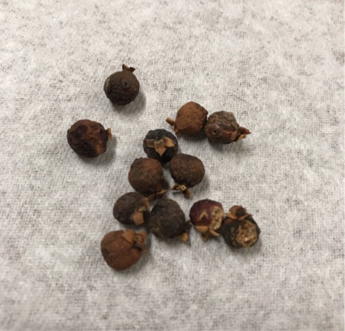 幸せ宿り木(多幸の樹)ガジュマル・種子(実)10個