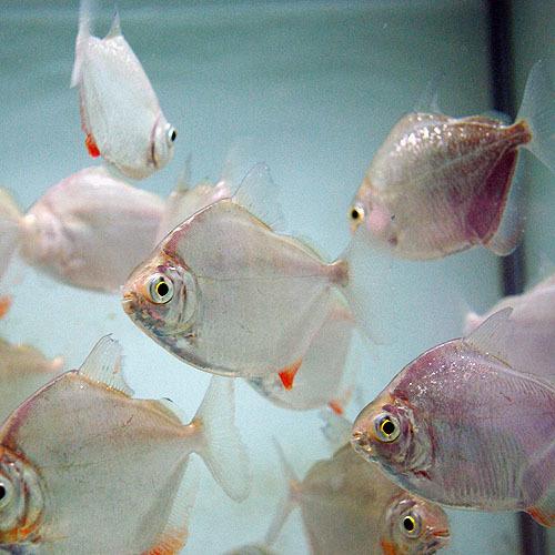 ★即決★熱帯魚★メチニス 3匹セット ±3cm_画像1