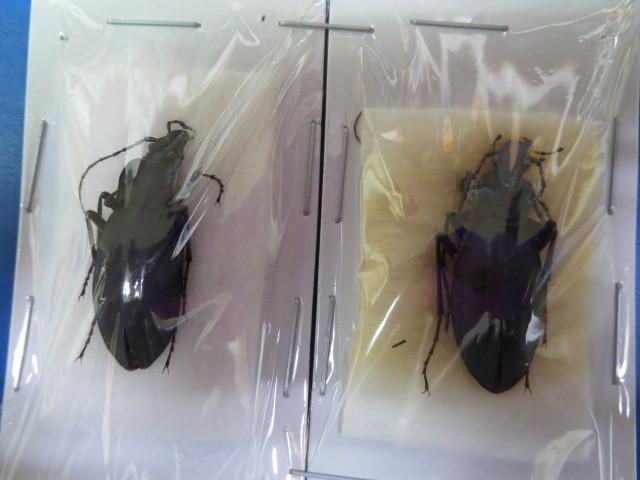 大特価! 学術昆虫標本 クロナガオサムシ 山梨県産 2頭セット_画像1