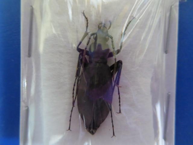 大特価! 学術昆虫標本 チチブクロナガオサムシ 山梨県産 _画像1
