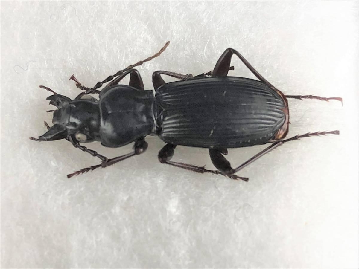 【甲虫標本】 入手困難! ヨコハマナガゴミムシ(♀) 【野外採集品】_画像2