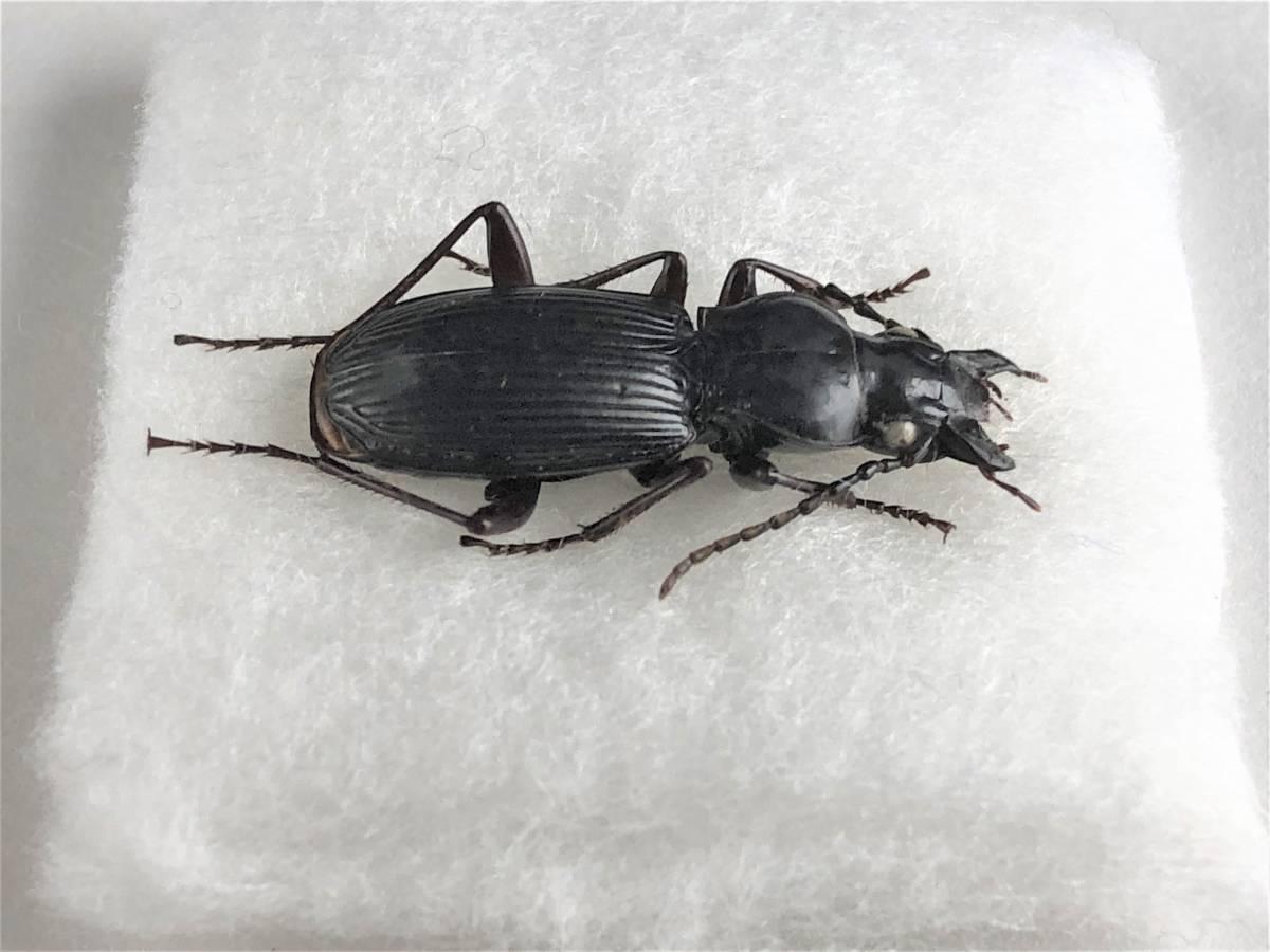 【甲虫標本】 入手困難! ヨコハマナガゴミムシ(♀) 【野外採集品】_画像3