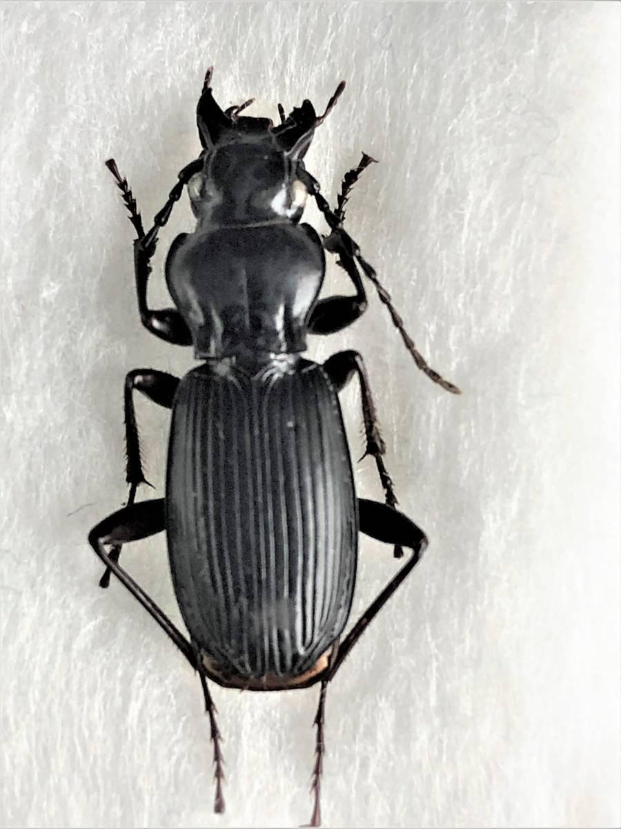 【甲虫標本】 入手困難! ヨコハマナガゴミムシ(♀) 【野外採集品】_画像1