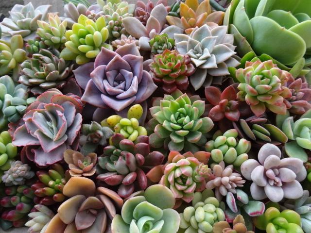 NO3,■48種類以上エケベリアなど多肉植物カット苗寄せ植えに■オリビア、ロッティー、ピンクルルビー、パープルディライト、など■