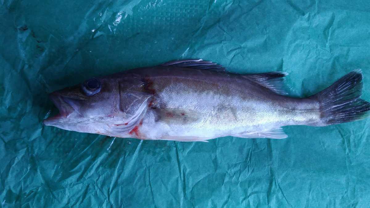 (魚)希少魚「本アラ」30cm1本_画像1