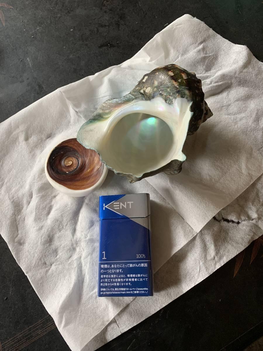 夜光貝 奄美産  貝 貝殻 _画像1
