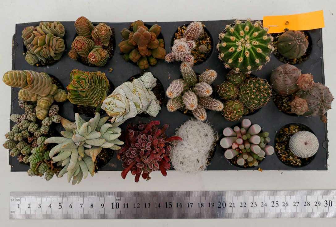 多肉植物、サボテン、ユーフォルビア、クラッスラ、根付苗18個セット!!4枚目の画像の品種名表の添付あり!!