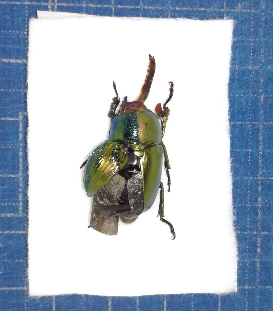 標本 パプキン パプアキンイロクワガタ 雌雄モザイク(雌雄同体)個体 B品1頭