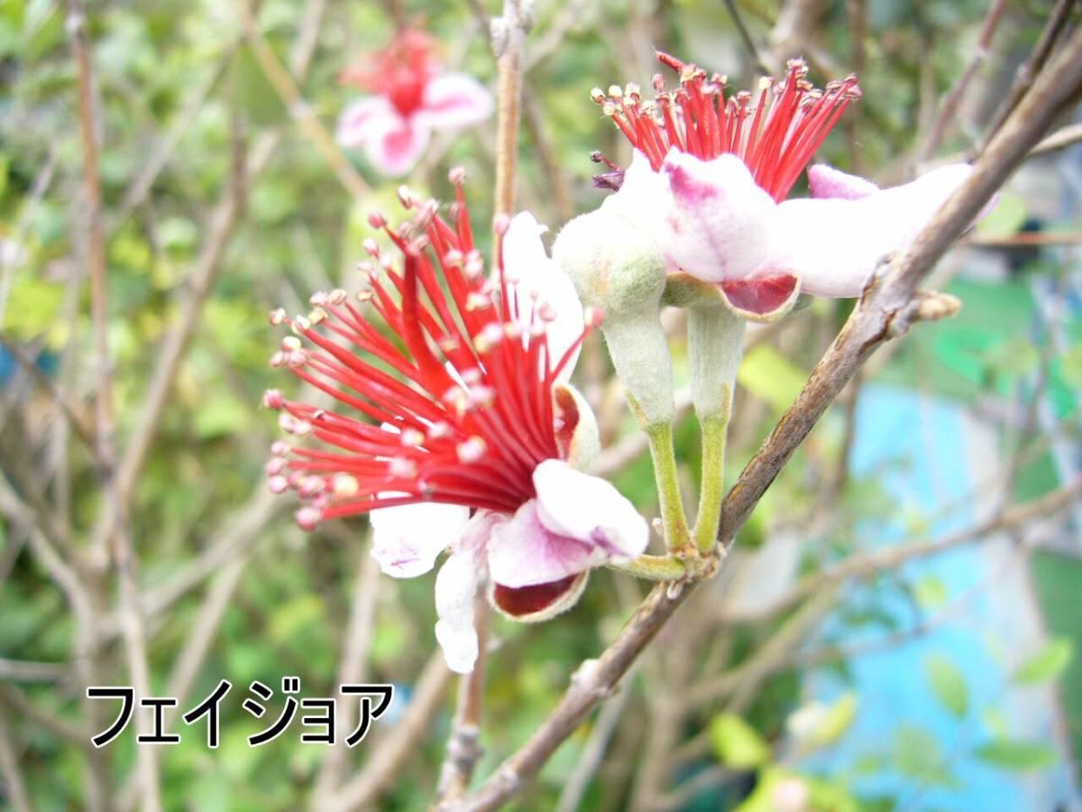 フェイジョア クーリッジ実生苗_6月ころに咲くエキゾチックな花