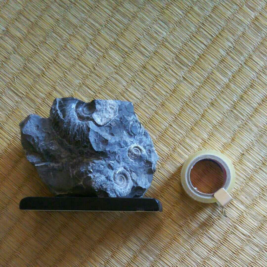 北海道アンモナイト(ゴードリセラス)
