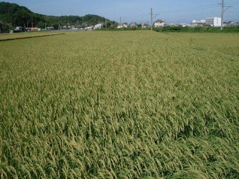 ギフトに  令和2年度産 石川県コシヒカリ白米5キロ 1980円 _画像2