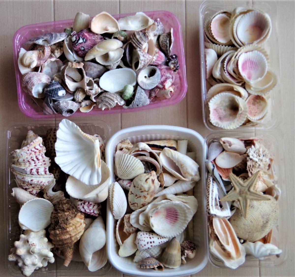 貝殻 総重量2.5㎏ クモガイなど9P   ビーチコーミング 工作 宿題 手芸  自由研究_画像1