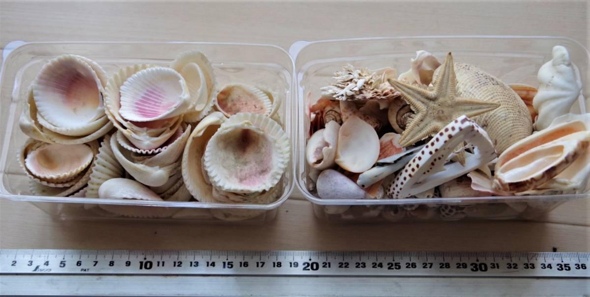 貝殻 総重量2.5㎏ クモガイなど9P   ビーチコーミング 工作 宿題 手芸  自由研究_画像2