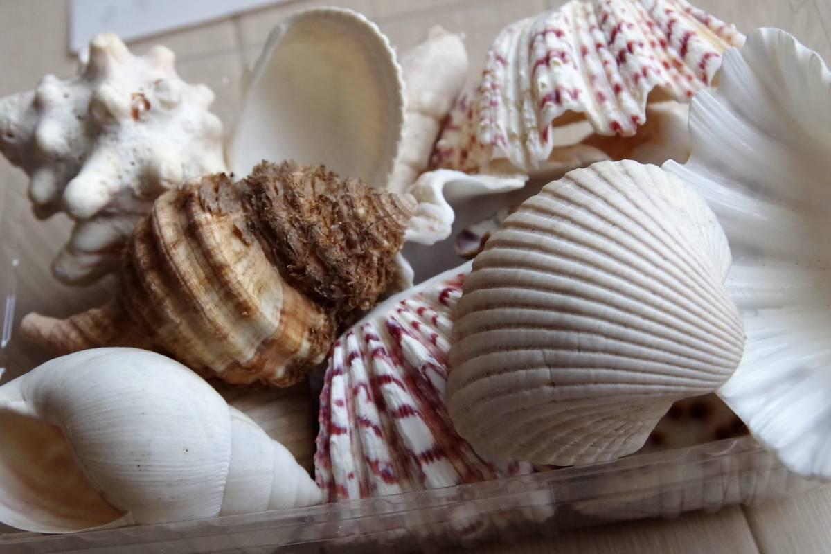 貝殻 総重量2.5㎏ クモガイなど9P   ビーチコーミング 工作 宿題 手芸  自由研究_画像7