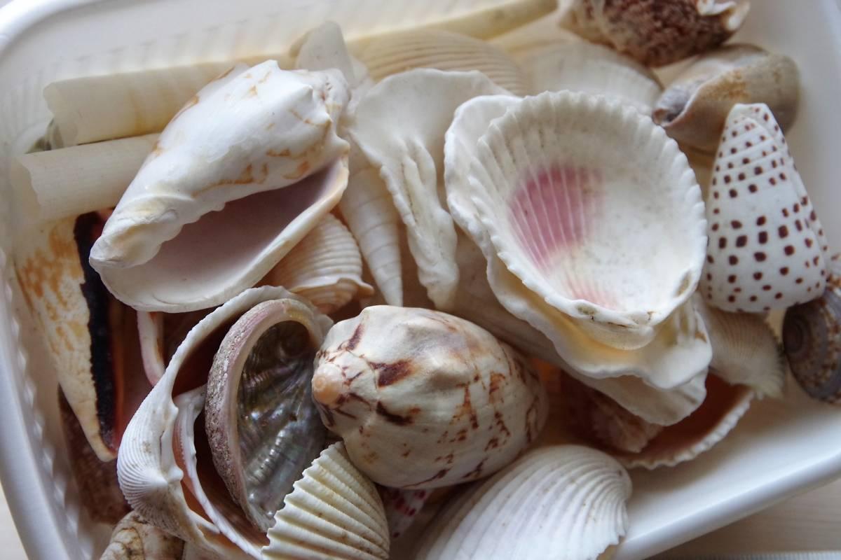 貝殻 総重量2.5㎏ クモガイなど9P   ビーチコーミング 工作 宿題 手芸  自由研究_画像5