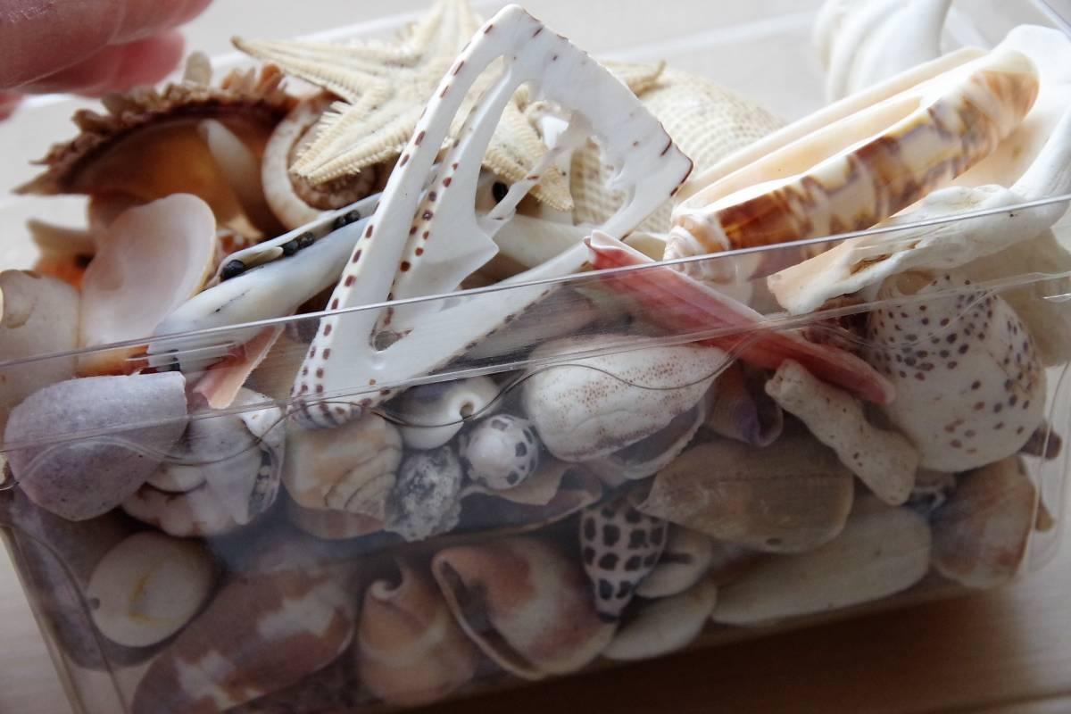 貝殻 総重量2.5㎏ クモガイなど9P   ビーチコーミング 工作 宿題 手芸  自由研究_画像4