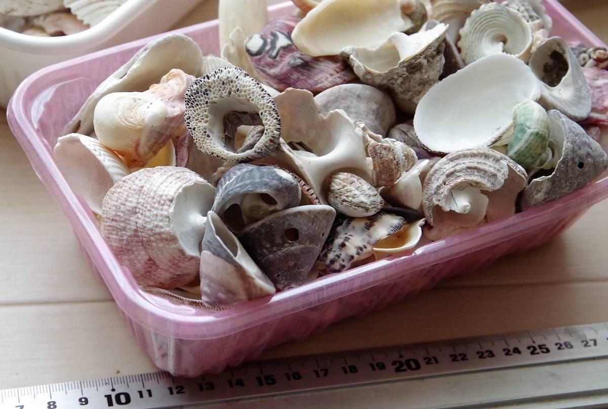 貝殻 総重量2.5㎏ クモガイなど9P   ビーチコーミング 工作 宿題 手芸  自由研究_画像6