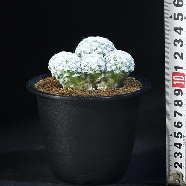 【姫春星】 マミラリア ハンボルデティ 3号 17 PR 【サボテン・多肉植物】 Mammillaria humboldtii var.caespitosa_画像4