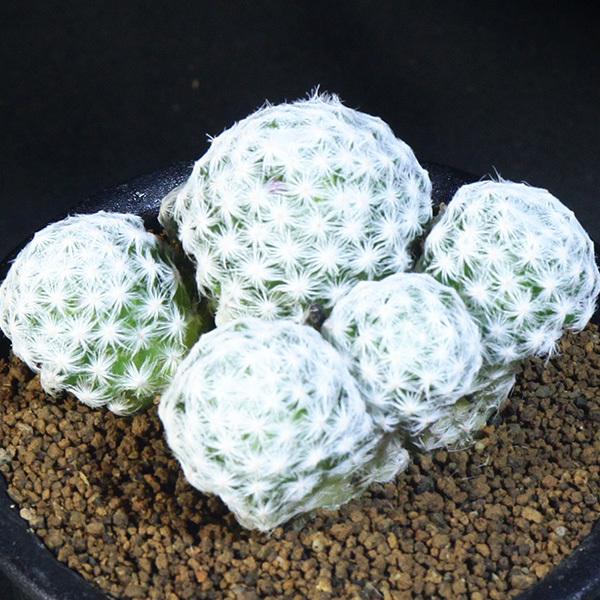 【姫春星】 マミラリア ハンボルデティ 3号 17 PR 【サボテン・多肉植物】 Mammillaria humboldtii var.caespitosa_画像1
