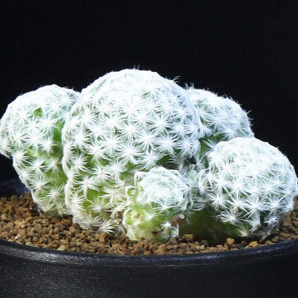 【姫春星】 マミラリア ハンボルデティ 3号 17 PR 【サボテン・多肉植物】 Mammillaria humboldtii var.caespitosa_画像2