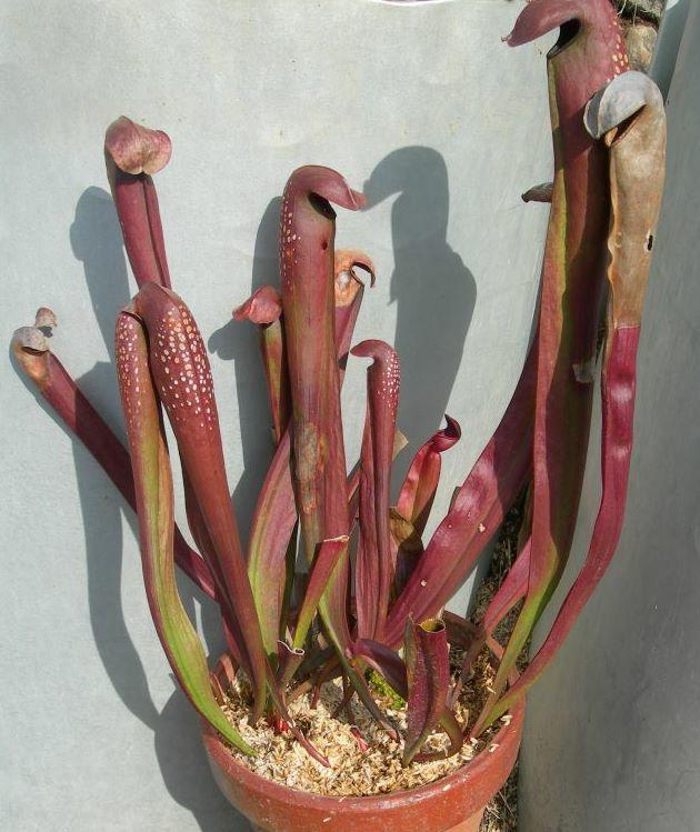 S.minor var. okefenokeensis Lois Glass 1ポット[送料別,350] 食虫植物 サラセニア _画像1