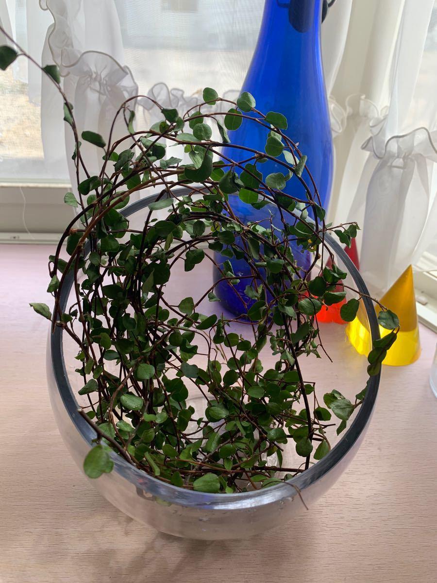 観葉植物 緑 カット苗 インテリア