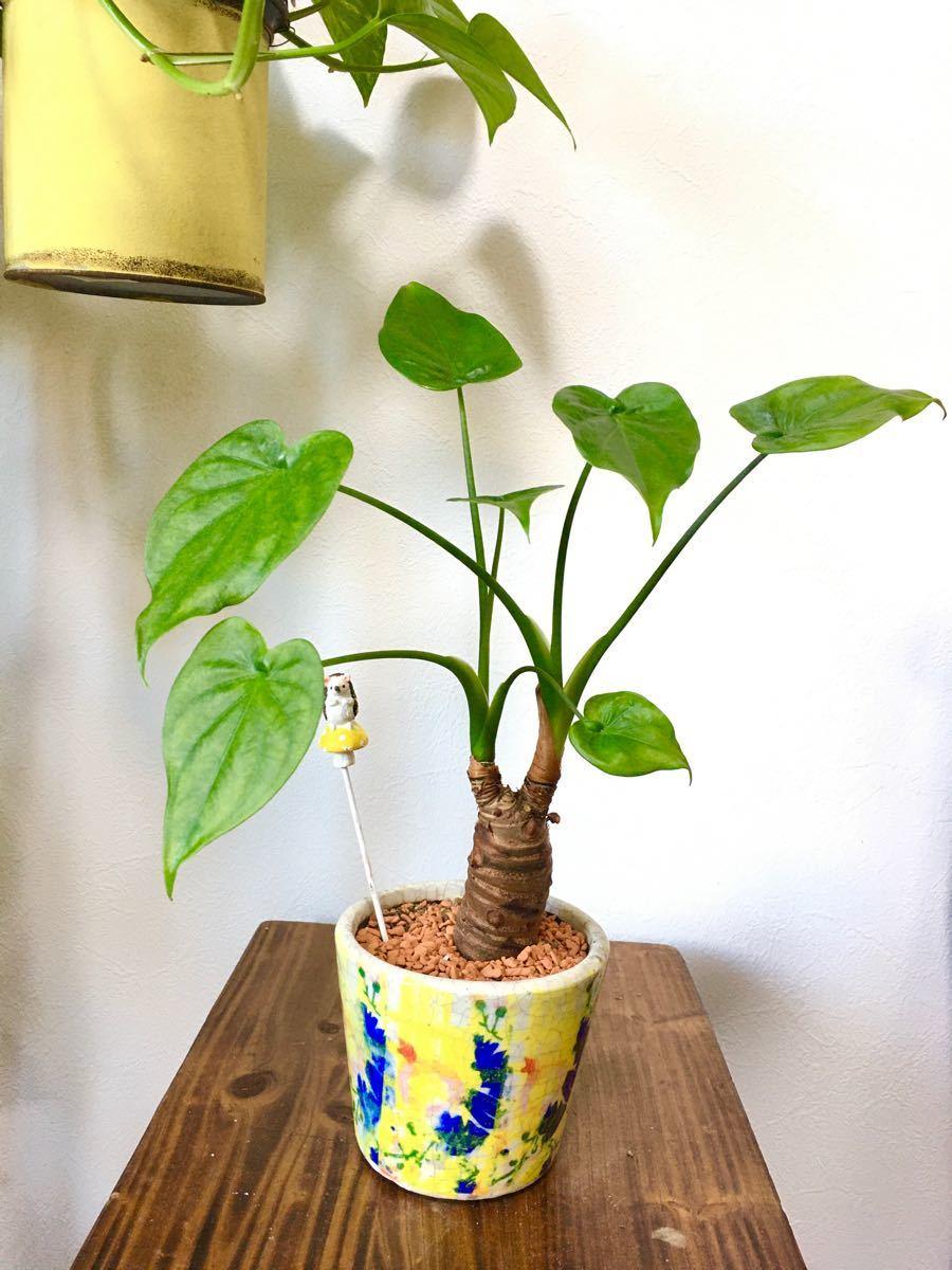 クワイズモ 届いてすぐに飾れる 観葉植物 インテリアに