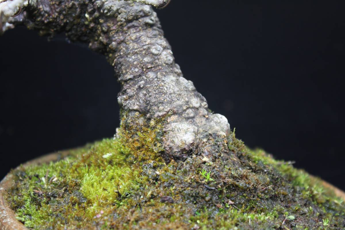 【茉莉園】◆ 定家葛 ◆ 樹高26cm 豪快・可憐 撮影日 R2.5.31_画像3