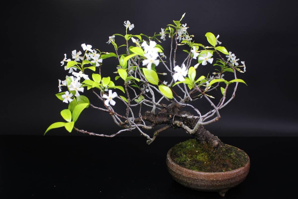 【茉莉園】◆ 定家葛 ◆ 樹高26cm 豪快・可憐 撮影日 R2.5.31_画像6