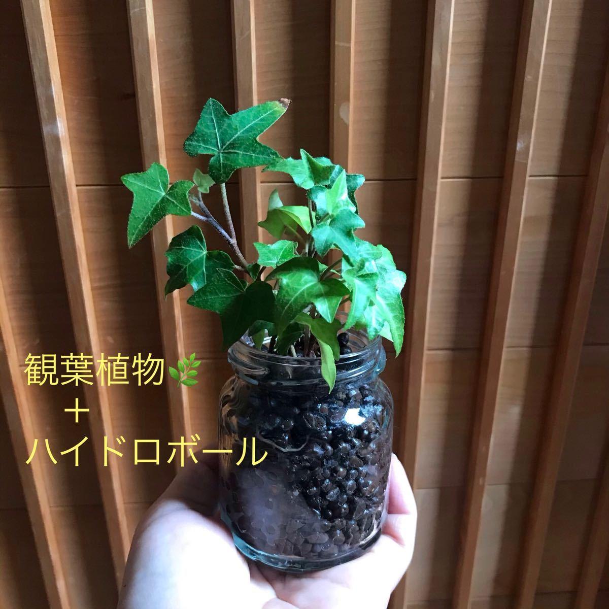 a観葉植物+ハイドロカルチャーボール アイビー ヘデラ リアルグリーン 空気清浄