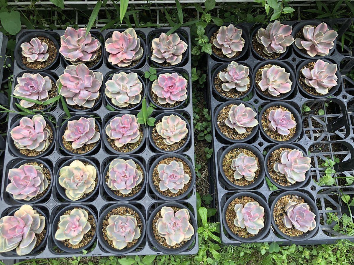 【1円スタート!】エケベリア ウエストレインボー 抜き苗 発根してます。この中から5鉢販売します! 多肉植物
