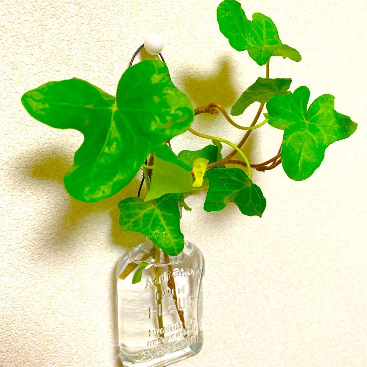 【癒し空間】送料込み アイビー インテリア 観葉植物&ガーデン