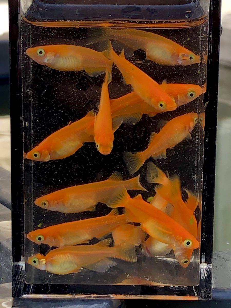 赤い紅帝 楊貴妃 若魚2ペア_画像1