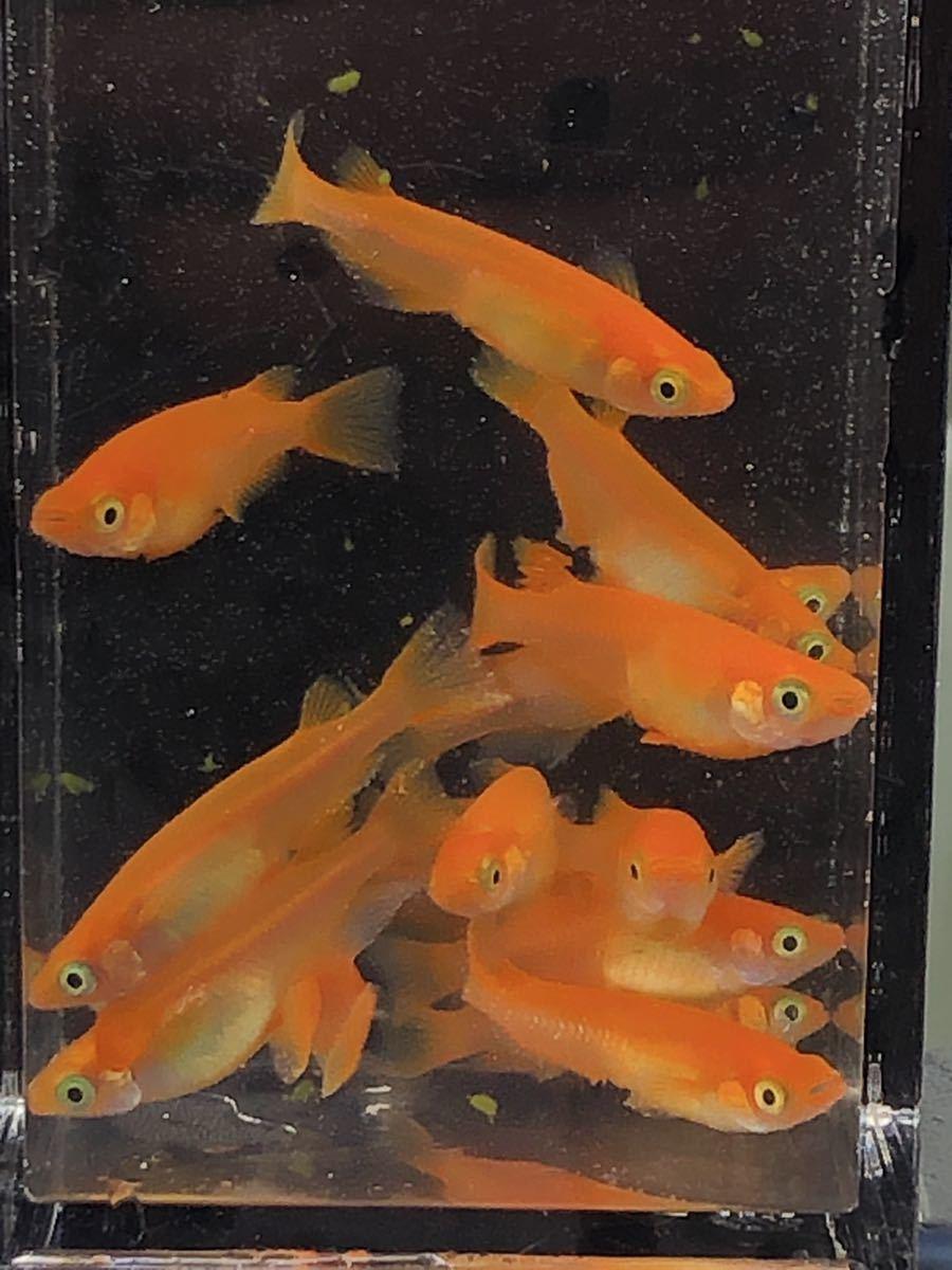 赤い紅帝 楊貴妃 若魚2ペア_画像2