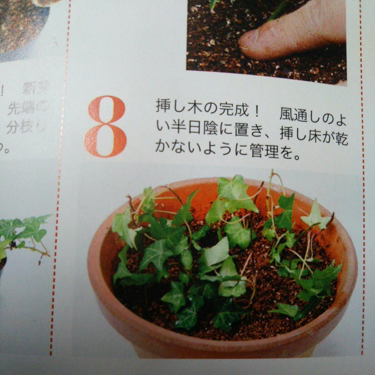 観葉植物   アイビーカット苗
