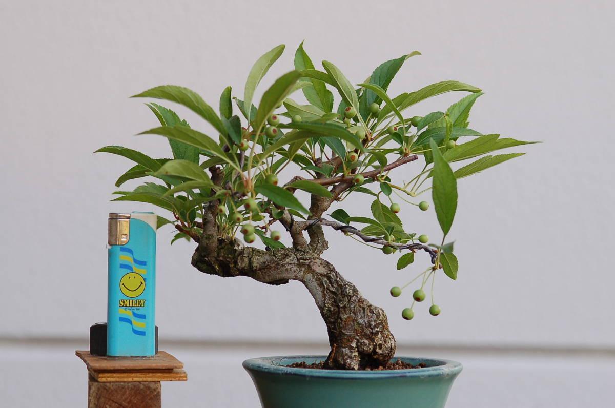 送料無料 小品盆栽 黄実ズミ 樹高13センチ