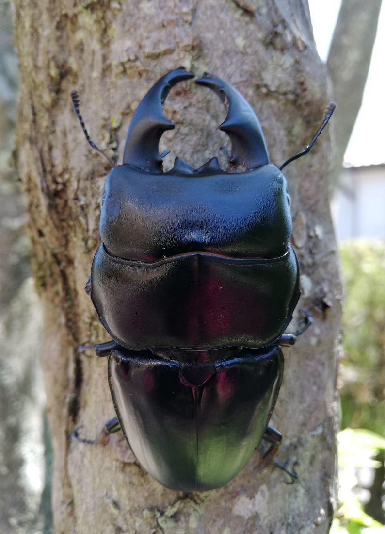 アルキデスオオヒラタ 短歯86.5mm 1♂6♀セット