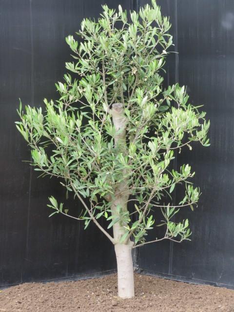 小豆島からの贈り物 オリーブの木 チプレッシーノ_画像1