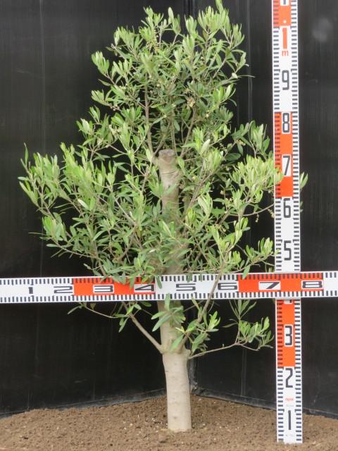 小豆島からの贈り物 オリーブの木 チプレッシーノ_画像2