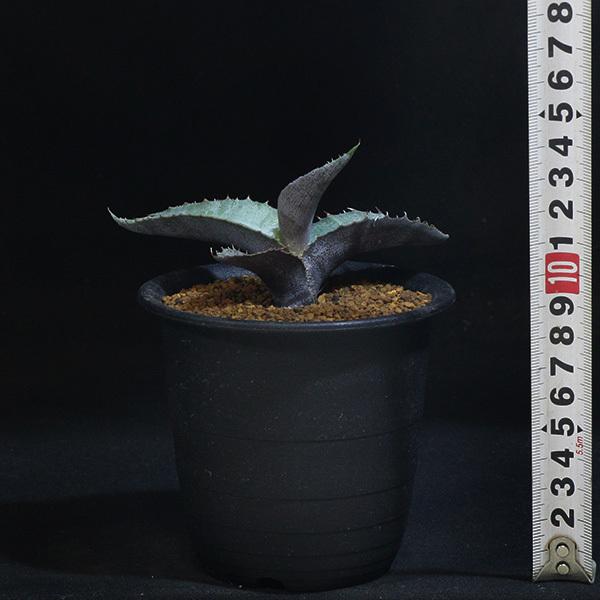【アガベ】 マルモラータ 3号 8 PP 【レア・多肉植物】Agave marmorata ssp._画像4