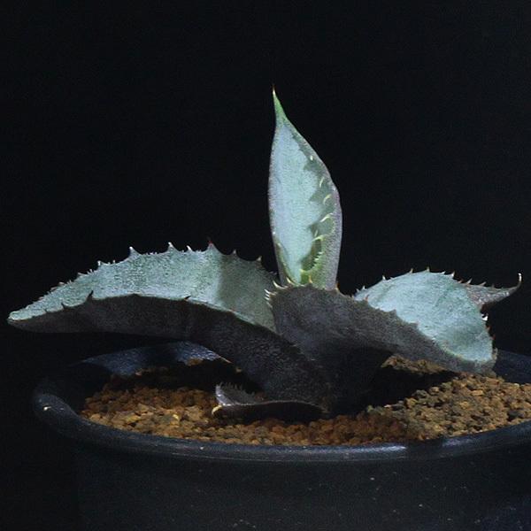 【アガベ】 マルモラータ 3号 8 PP 【レア・多肉植物】Agave marmorata ssp._画像2