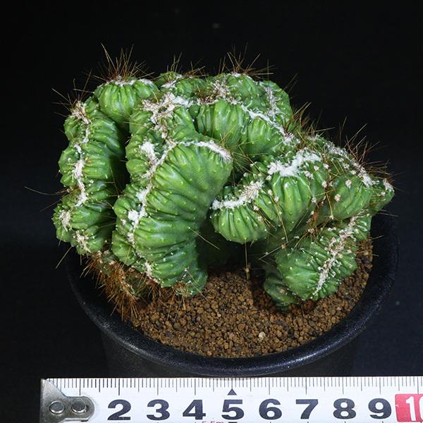 【残雪獅子】 ケレウス・バリアビリス・モンストローサ 3号 3 PR 【サボテン・セレウス】 Cereus variabilis f. monst_画像4