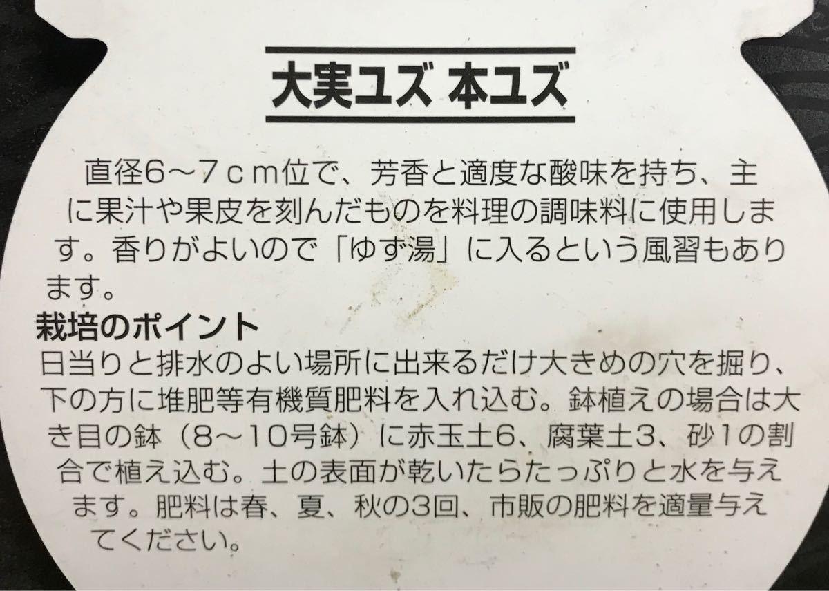 大実 柚子(本ユズ)苗木_画像2