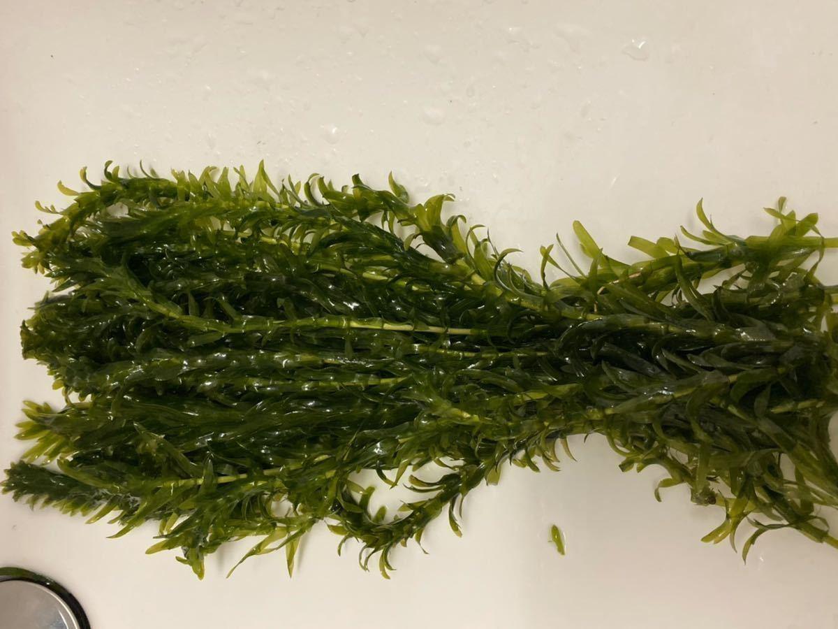 送料無料 無農薬 アナカリス 20本 オオカナダモ金魚メダカビーシュリンプエビザリガニ水槽の水草に 魚の隠れ家 即決価格 産卵床繁殖にも