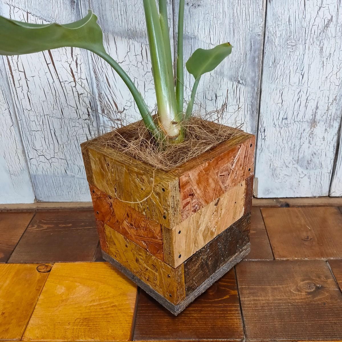 【観葉植物】 ストレリチア レギネ