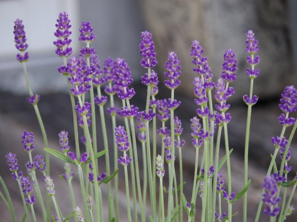 【ラベンダー・ブルーセントアーリー*Lavandula angustifolia*イングリッシュラベンダー】*ボリュームあります*同梱可   _画像2