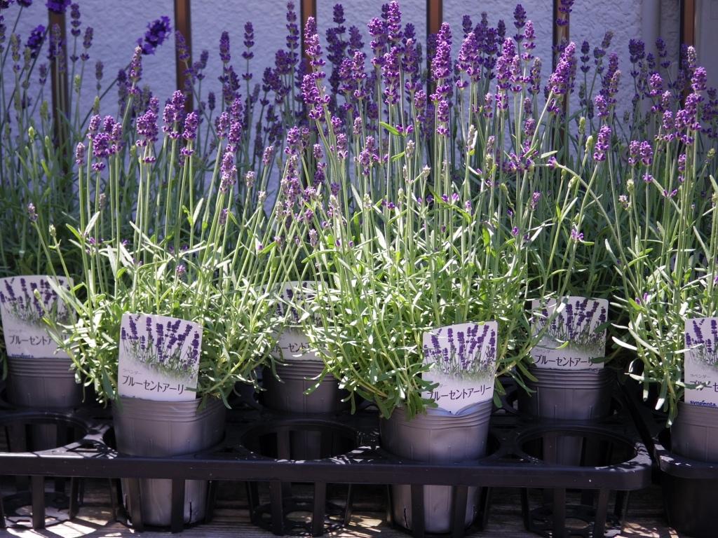 【ラベンダー・ブルーセントアーリー*Lavandula angustifolia*イングリッシュラベンダー】*ボリュームあります*同梱可   _画像3
