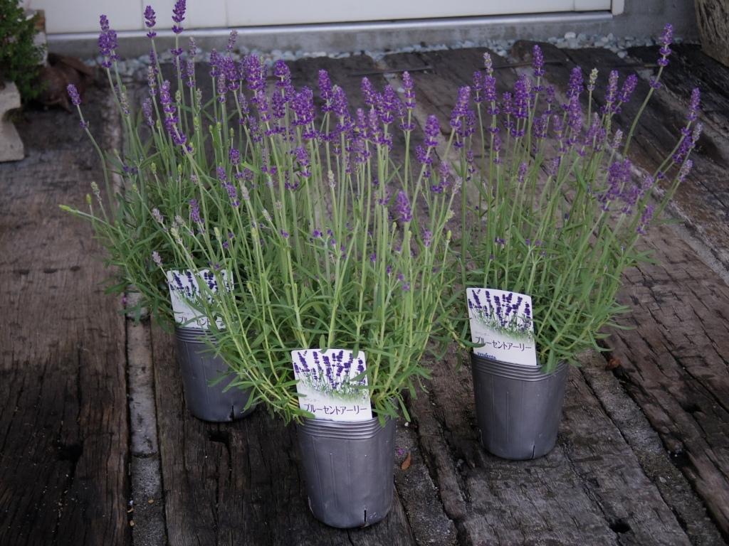 【ラベンダー・ブルーセントアーリー*Lavandula angustifolia*イングリッシュラベンダー】*ボリュームあります*同梱可   _画像4